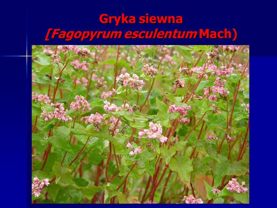 Gryka siewna [Fagopyrum esculentum Mach)